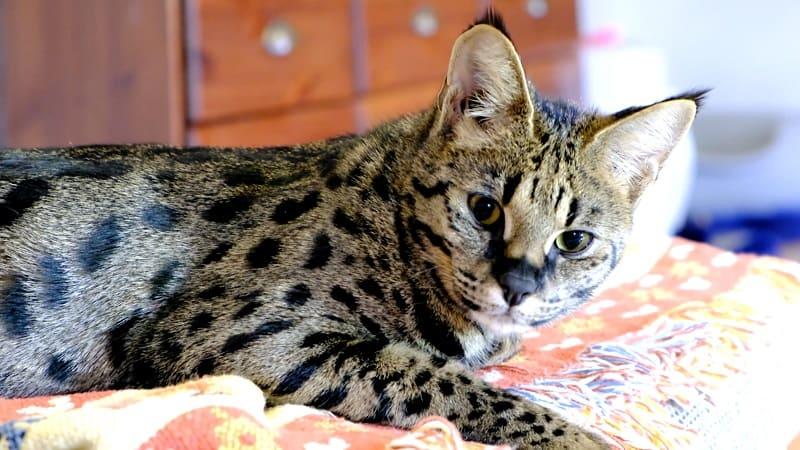 Кошка саванна подлая