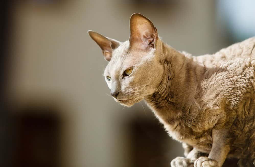 9 самых ласковых пород кошек - египетские мау