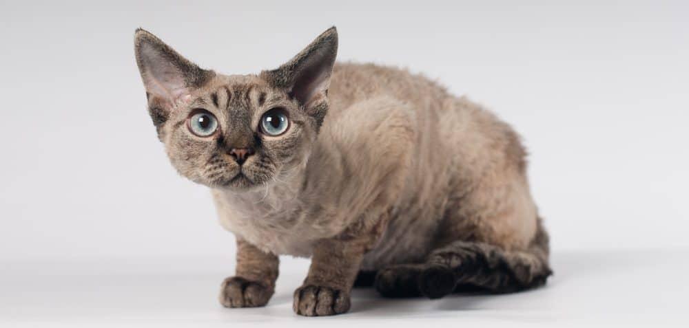 9 самых ласковых пород кошек - девон-рекс