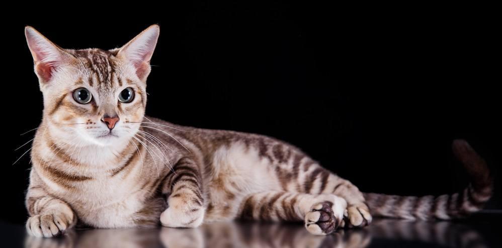 9 самых ласковых пород кошек - Tonkiese Cat