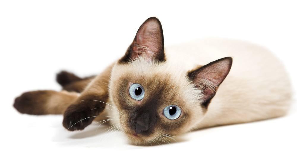 9 самых ласковых пород кошек - сиамские