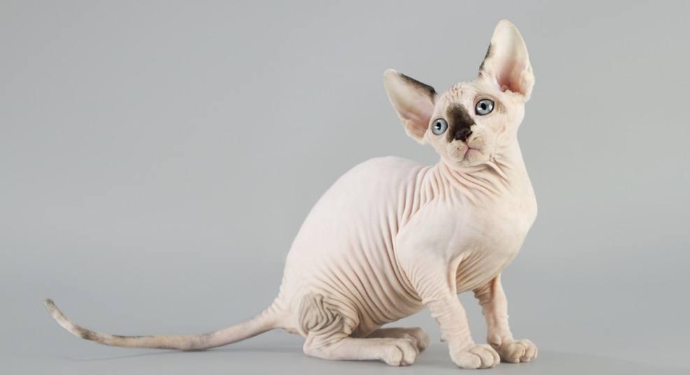 9 самых ласковых пород кошек - сфинкс