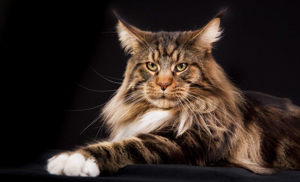 9 самых ласковых пород кошек - мейн-кун