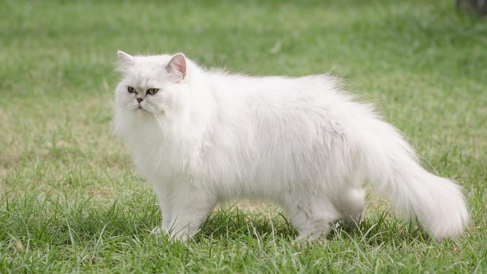 9 самых ласковых пород кошек. Персидский