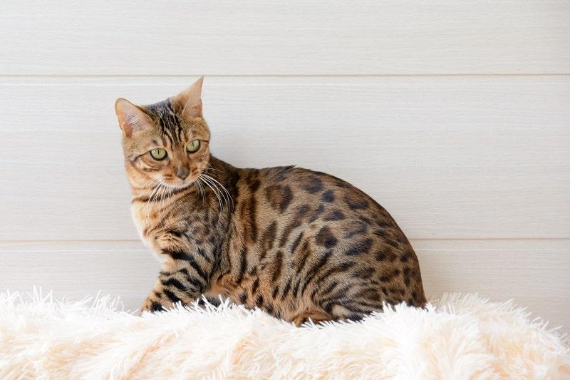Бенгальская кошка против кошки саванны