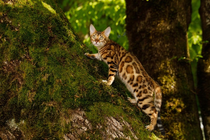 Бенгальские кошки агрессивны
