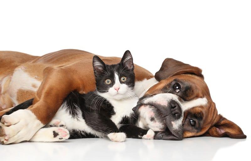 Боксеры хорошо ладят с кошками?