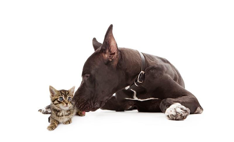 Доги хорошо ладят с кошками?