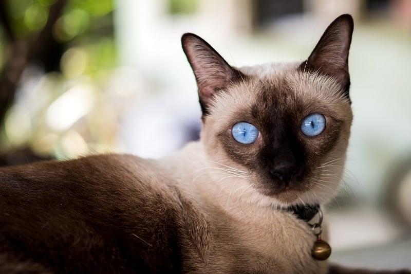 Дружелюбны ли сиамские кошки