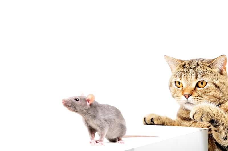 Едят ли кошки мышей целиком?