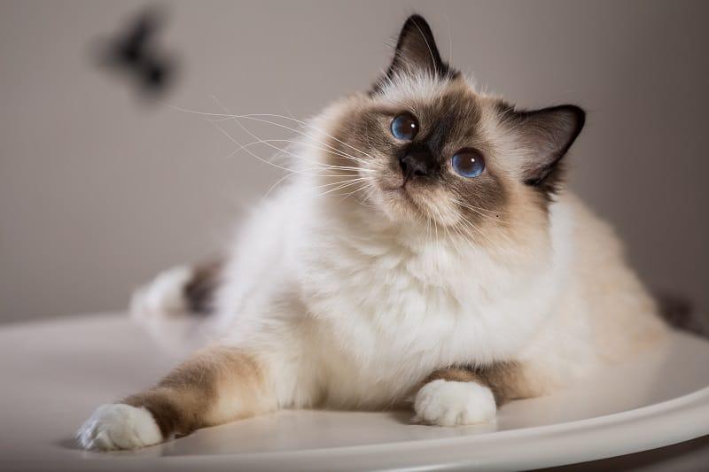 Есть ли у кошек волосы или мех