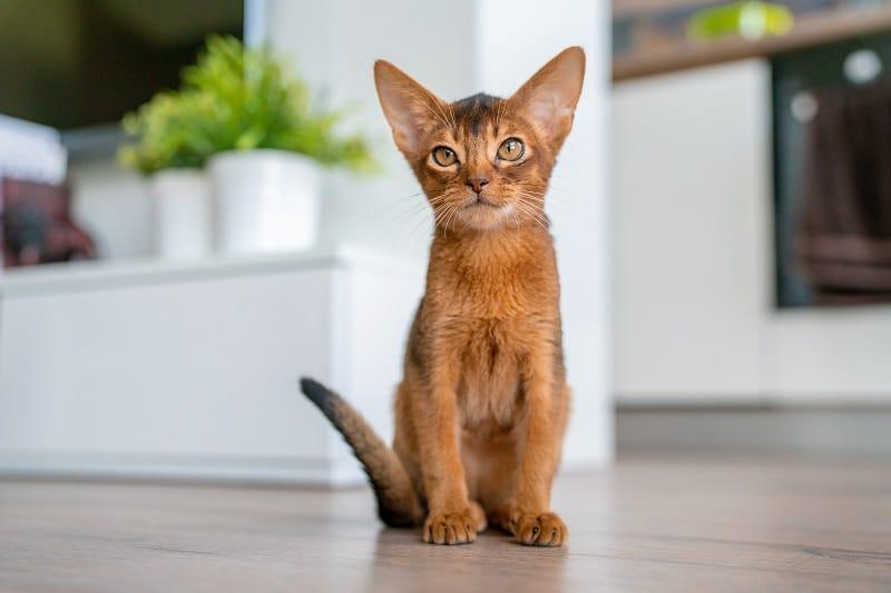 Гипоаллергенны ли абиссинские кошки
