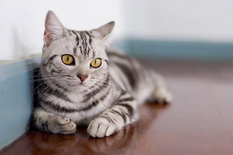 Гипоаллергенны ли американские короткошерстные кошки