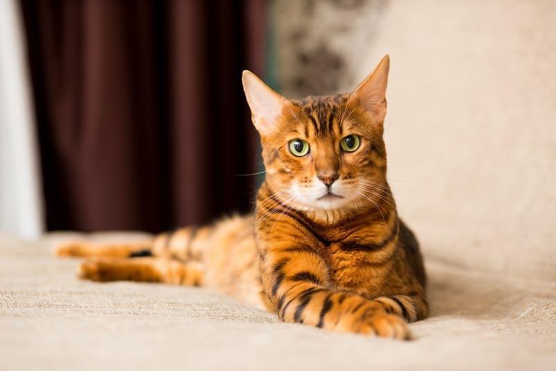 Гипоаллергенны ли бенгальские кошки