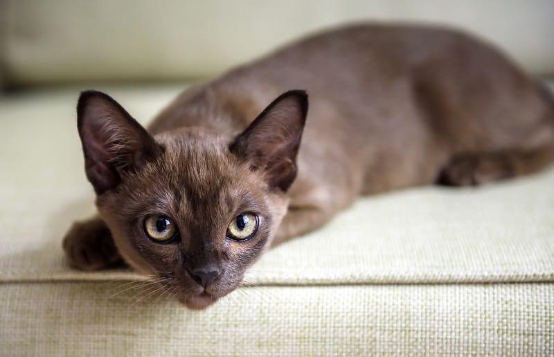 Гипоаллергенны ли бирманские кошки?