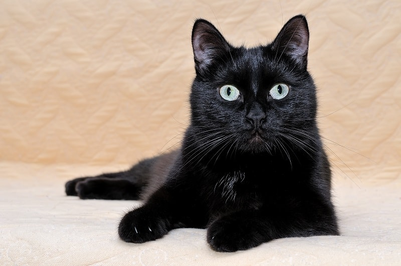 Гипоаллергенны ли бомбейские кошки