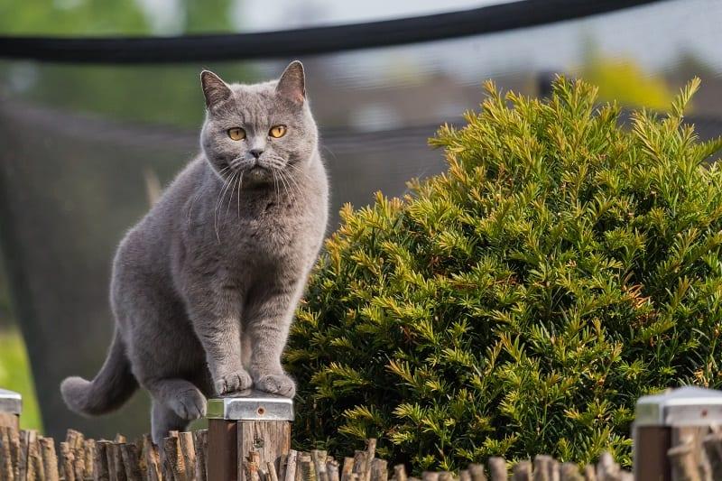 Гипоаллергенны ли британские короткошерстные кошки?