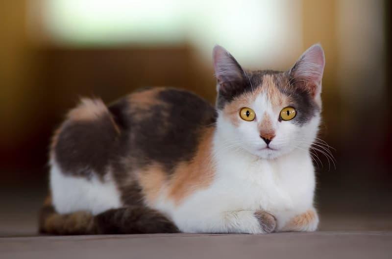 Гипоаллергенны ли ситцевые кошки?