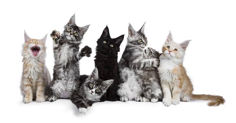 Гипоаллергенны ли длинношерстные кошки