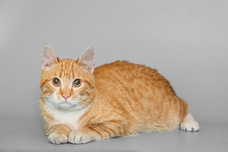 Гипоаллергенны домашние короткошерстные кошки