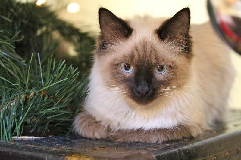 Гипоаллергенны ли гималайские кошки