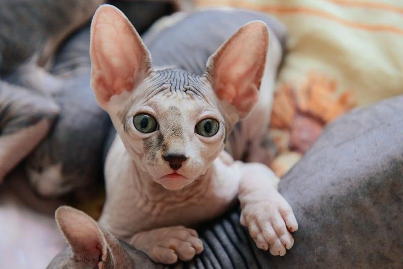 Гипоаллергенны ли голые кошки