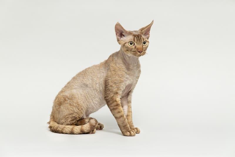 Гипоаллергенны ли кошки девон-рекс?
