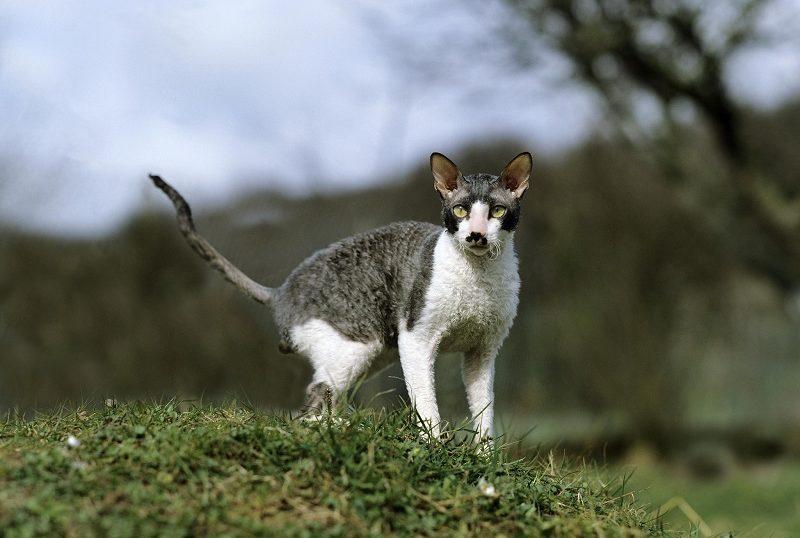 Гипоаллергенны ли кошки корниш-рекс?