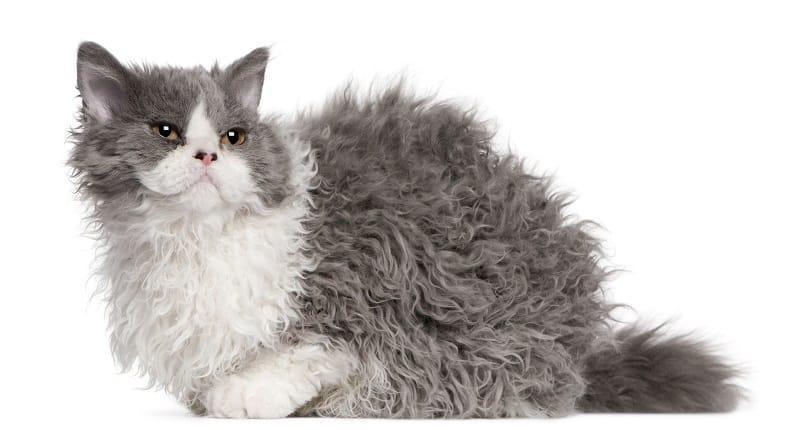 Гипоаллергенны ли кошки из баранины?