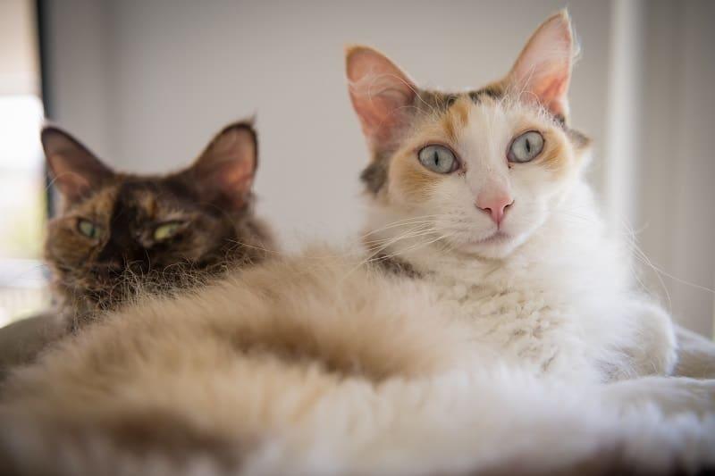 Гипоаллергенны ли кошки LaPerm?