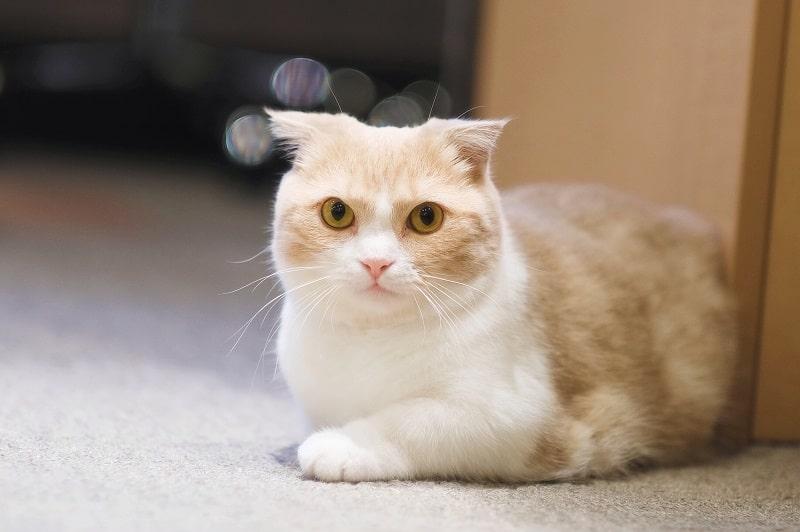 Гипоаллергенны ли коты из манчкинов?