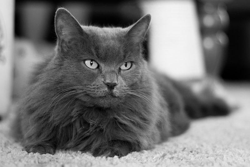 Гипоаллергенны ли кошки Nebelung?