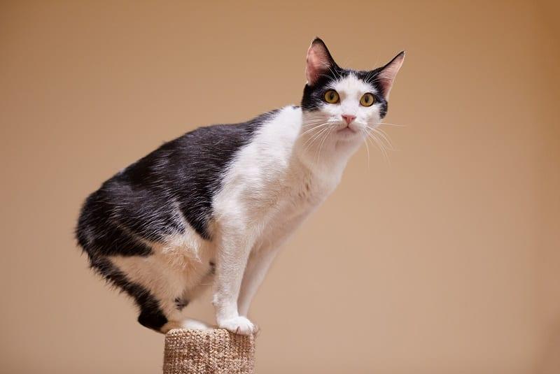 Гипоаллергенны ли кошки острова Манкс?