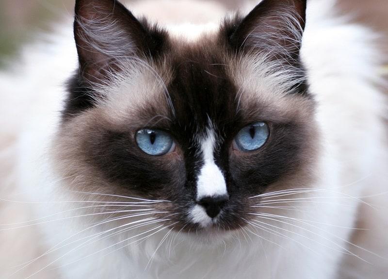 Гипоаллергенны ли кошки-рэгдоллы?