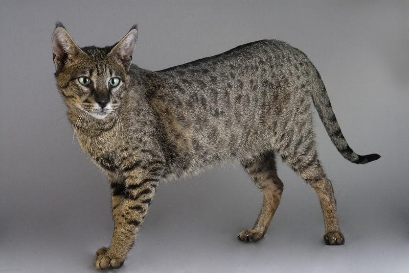 Гипоаллергенны ли кошки саванны?