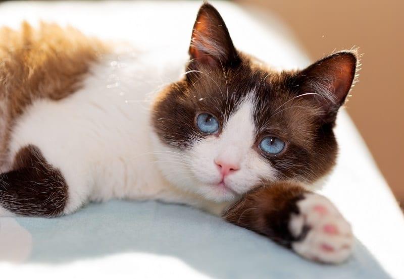 Гипоаллергенны ли кошки-снегоступы