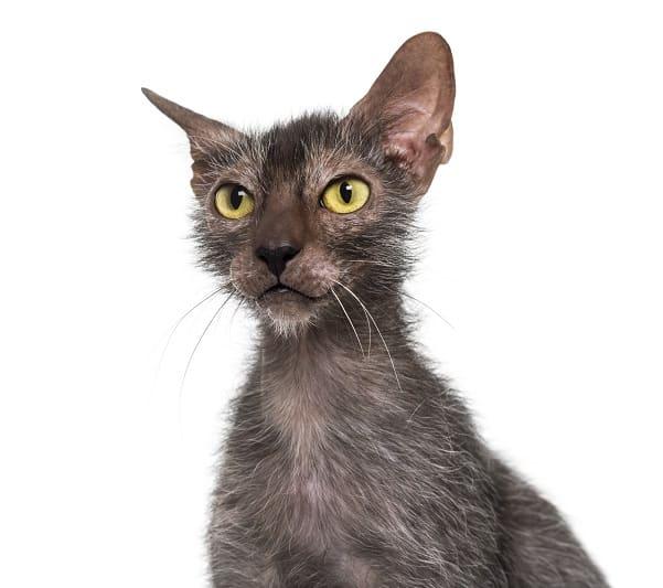 Гипоаллергенны ли Lykoi Cats?