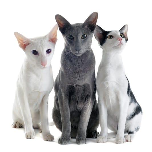 Гипоаллергенны ли ориентальные короткошерстные кошки?