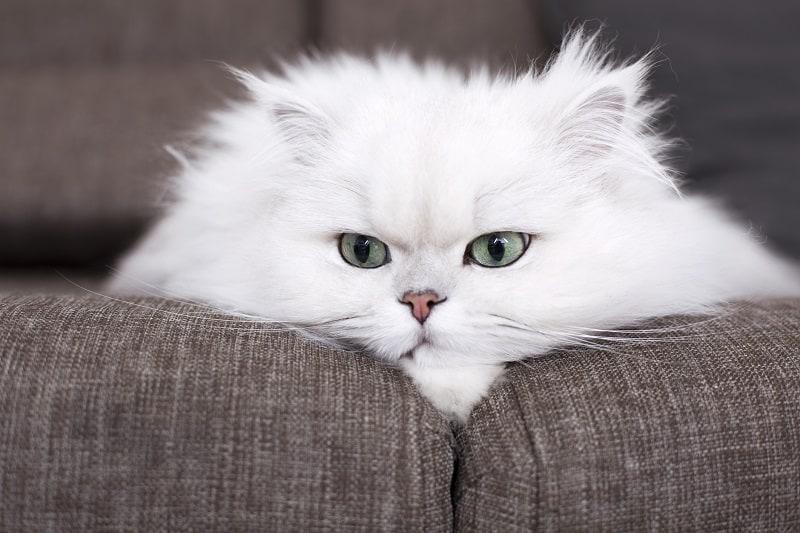 Гипоаллергенны ли персидские кошки