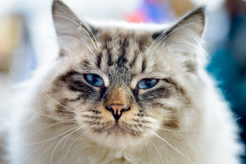 Гипоаллергенны ли кошки-оборванцы?
