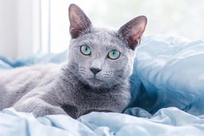 Гипоаллергенны ли русские голубые кошки