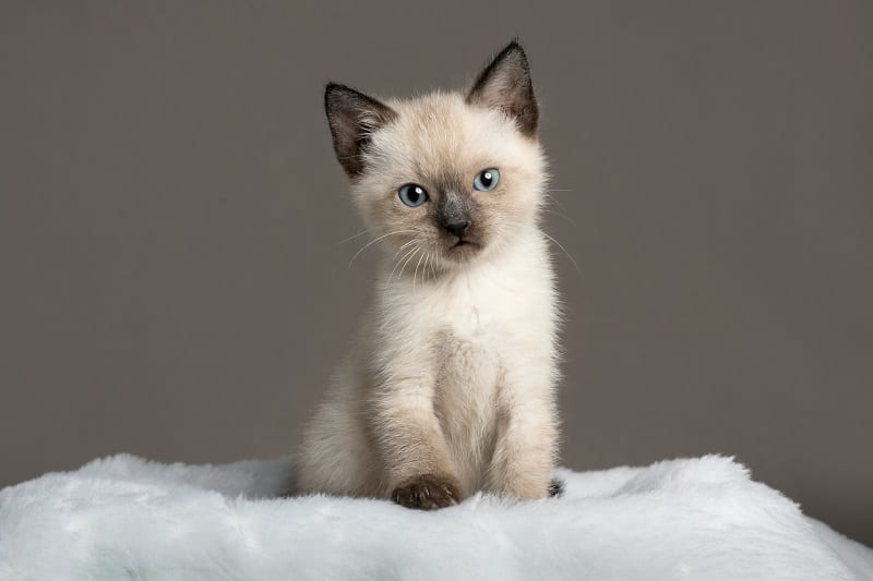 Гипоаллергенны ли сиамские кошки?