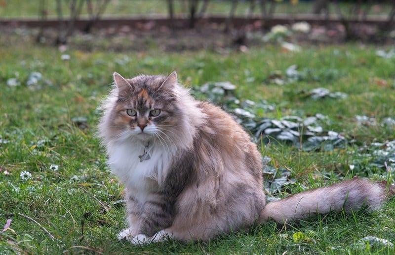 Гипоаллергенны ли сибирские кошки?