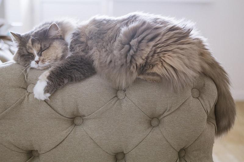 Изменение цвета меха кошки