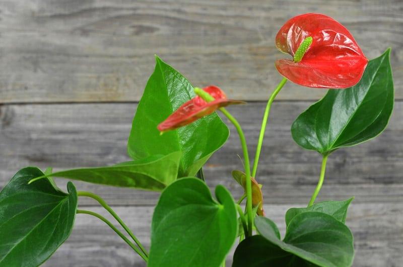 Фламинго Цветочное Растение