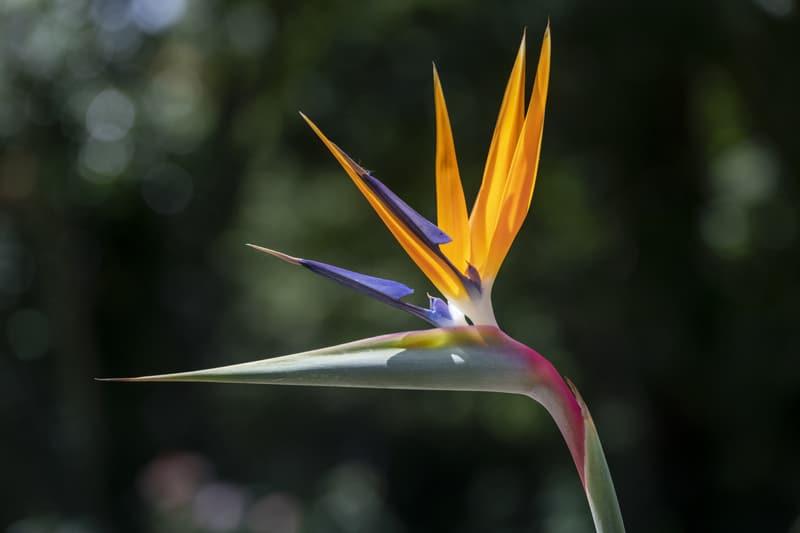 Цветок Птичьего Языка