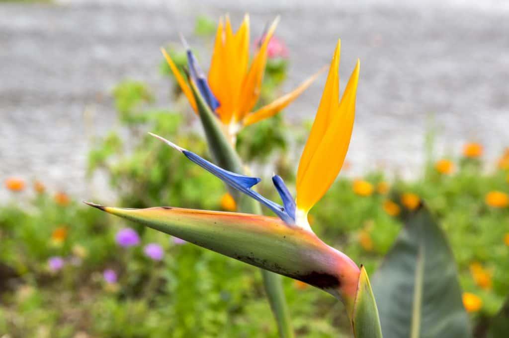Райская птица цветок