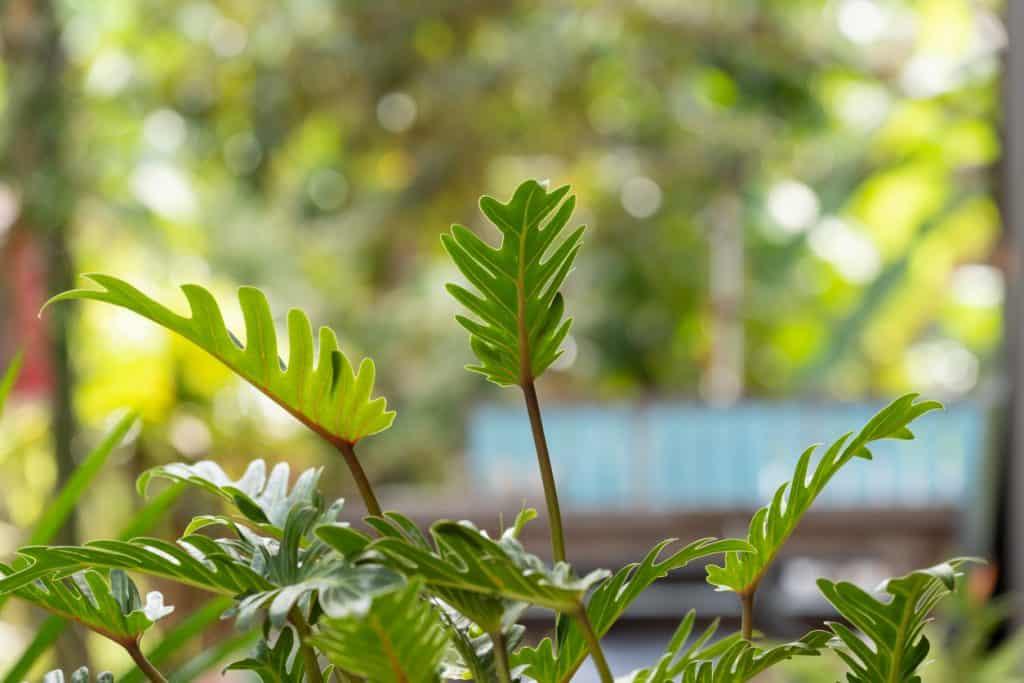Филодендрон дерево