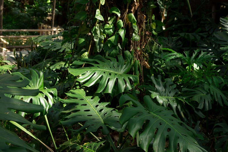 Филодендрон с расщепленным листом