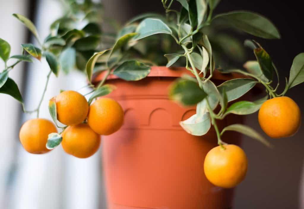 Каламондин апельсин